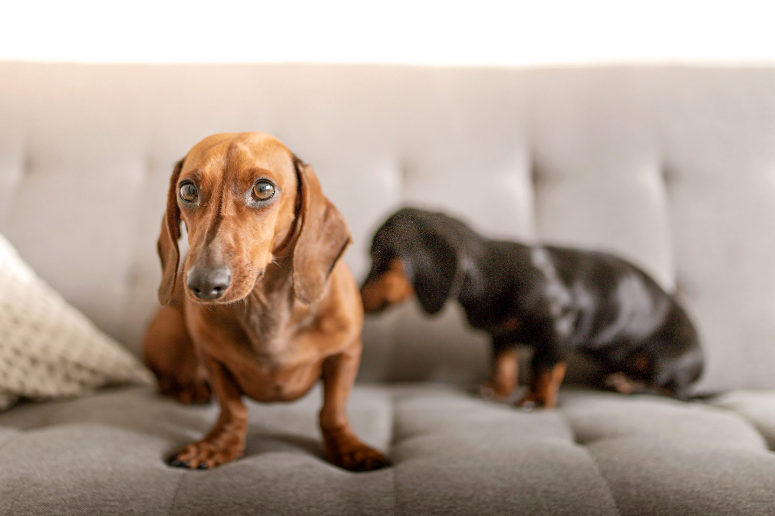 7 Simple Tips for Keeping a Clean Home With Dogs - Hey, Djangles. Cute Dachshunds on sofa. Image by Dominika Roseclay.