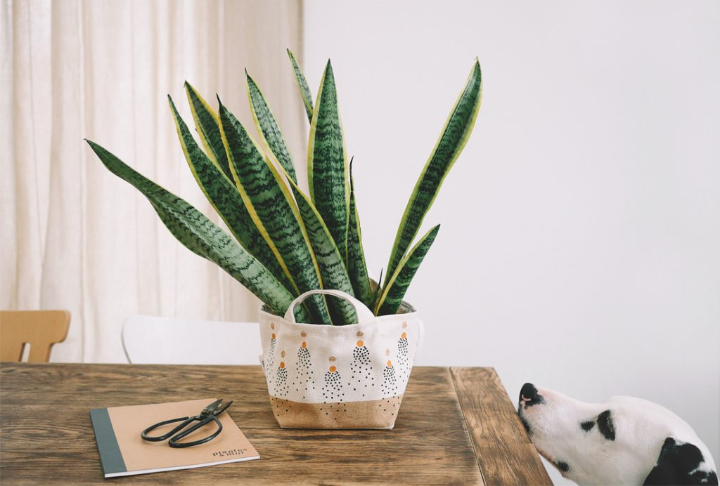 9 LOW-MAINTENANCE INDOOR SUCCULENTS THAT ARE SAFE FOR DOGS - heydjangles.com - Dalmatian dog, easy-care houseplant ideas, dog-friendly plants. Image via Le chien à taches.