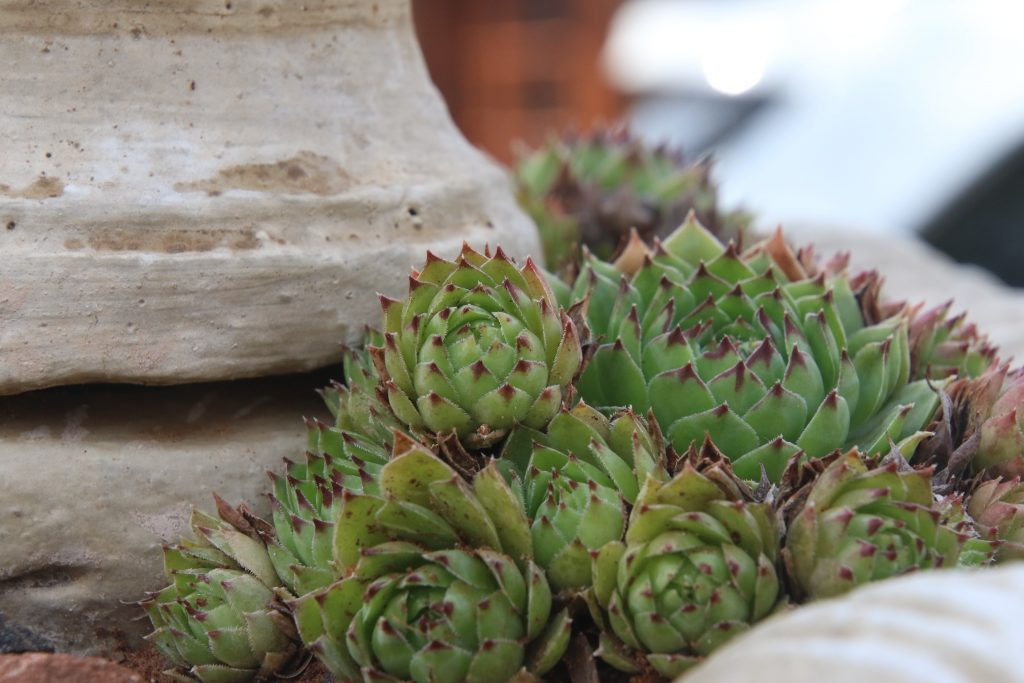 9 LOW-MAINTENANCE INDOOR SUCCULENTS THAT ARE SAFE FOR DOGS - heydjangles.com - Hens and Chicks succulent, Echeveria 'Ramillette', easy-care houseplant ideas, dog-friendly plants.