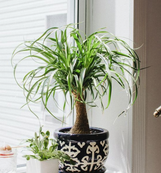 9 LOW-MAINTENANCE INDOOR SUCCULENTS THAT ARE SAFE FOR DOGS - heydjangles.com - Pony Tail Palm plant, Beaucarnea recurvata, easy-care houseplant ideas, dog-friendly plants. Image via Instagram @bitchy.plants