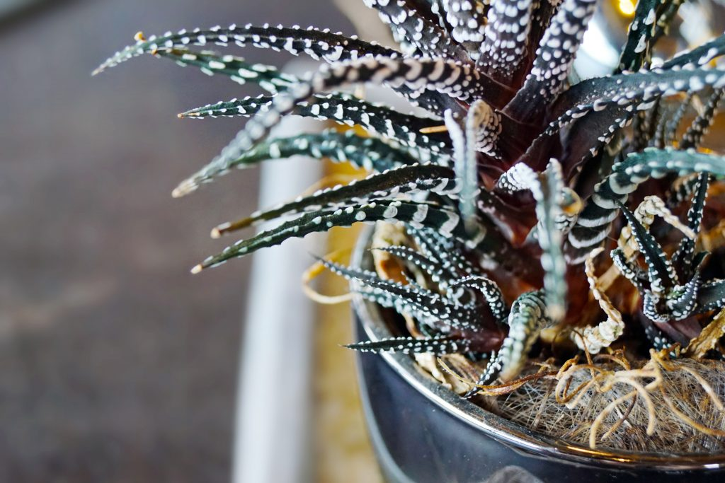 9 LOW-MAINTENANCE INDOOR SUCCULENTS THAT ARE SAFE FOR DOGS - heydjangles.com - Zebra Plant, Haworthia fasciata, easy-care houseplant ideas, dog-friendly plants.
