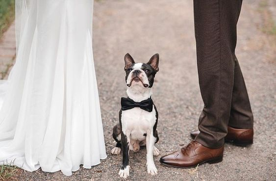 How to Include your Dogs in your Wedding Photos (30+ Sweet Pics) – heydjangles.com, Boston Terrier, doggy wedding attire, dogs in wedding photos #doglover #dogsatweddings #weddingdog