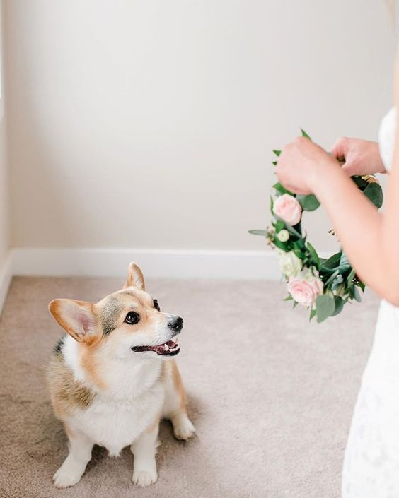 How to Include your Dogs in your Wedding Photos (30+ Sweet Pics) – heydjangles.com, Corgi, doggy wedding attire, dogs in wedding photos #doglover #dogsatweddings #weddingdog