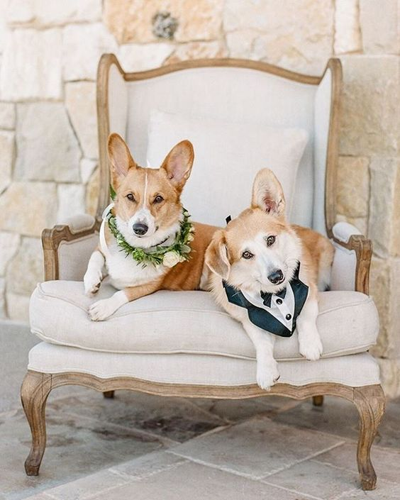 How to Include your Dogs in your Wedding Photos (30+ Sweet Pics) – heydjangles.com, Corgis, doggy wedding attire, dogs in wedding photos #doglover #dogsatweddings #weddingdog