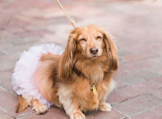 How to Include your Dogs in your Wedding Photos (30+ Sweet Pics) – heydjangles.com, Pug, doggy wedding attire, dogs in wedding photos #doglover #dogsatweddings #weddingdog