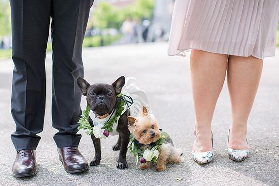 How to Include your Dogs in your Wedding Photos (30+ Sweet Pics) – heydjangles.com, doggy wedding attire, dogs in wedding photos, French Bulldog, Yorkshire Terrier #doglover #dogsatweddings #weddingdog