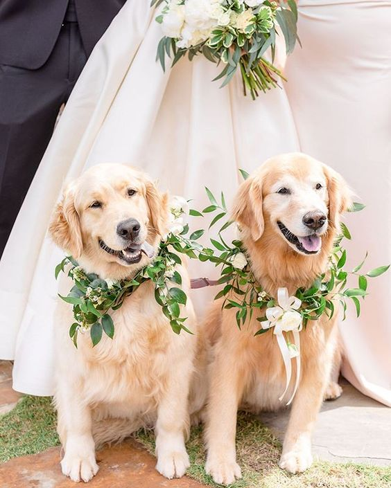 How to Include your Dogs in your Wedding Photos (30+ Sweet Pics) – heydjangles.com, Golden Retrievers, doggy wedding attire, dogs in wedding photos #doglover #dogsatweddings #weddingdog