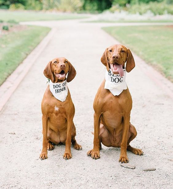 How to Include your Dogs in your Wedding Photos (30+ Sweet Pics) – heydjangles.com, doggy wedding attire, dogs in wedding photos, Vizslas #doglover #dogsatweddings #weddingdog