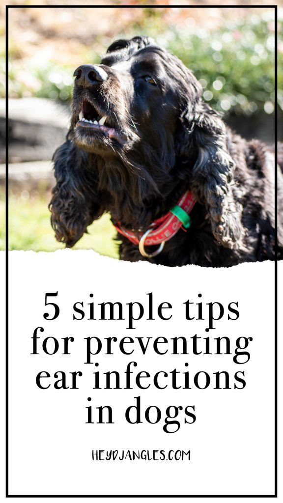 5 Tips for Preventing Ear Infections in Dogs, heydjangles.com - English Cocker Spaniel, dog grooming, pet care, preventative maintenance, for the love of dogs. #doglover #cockerspaniel