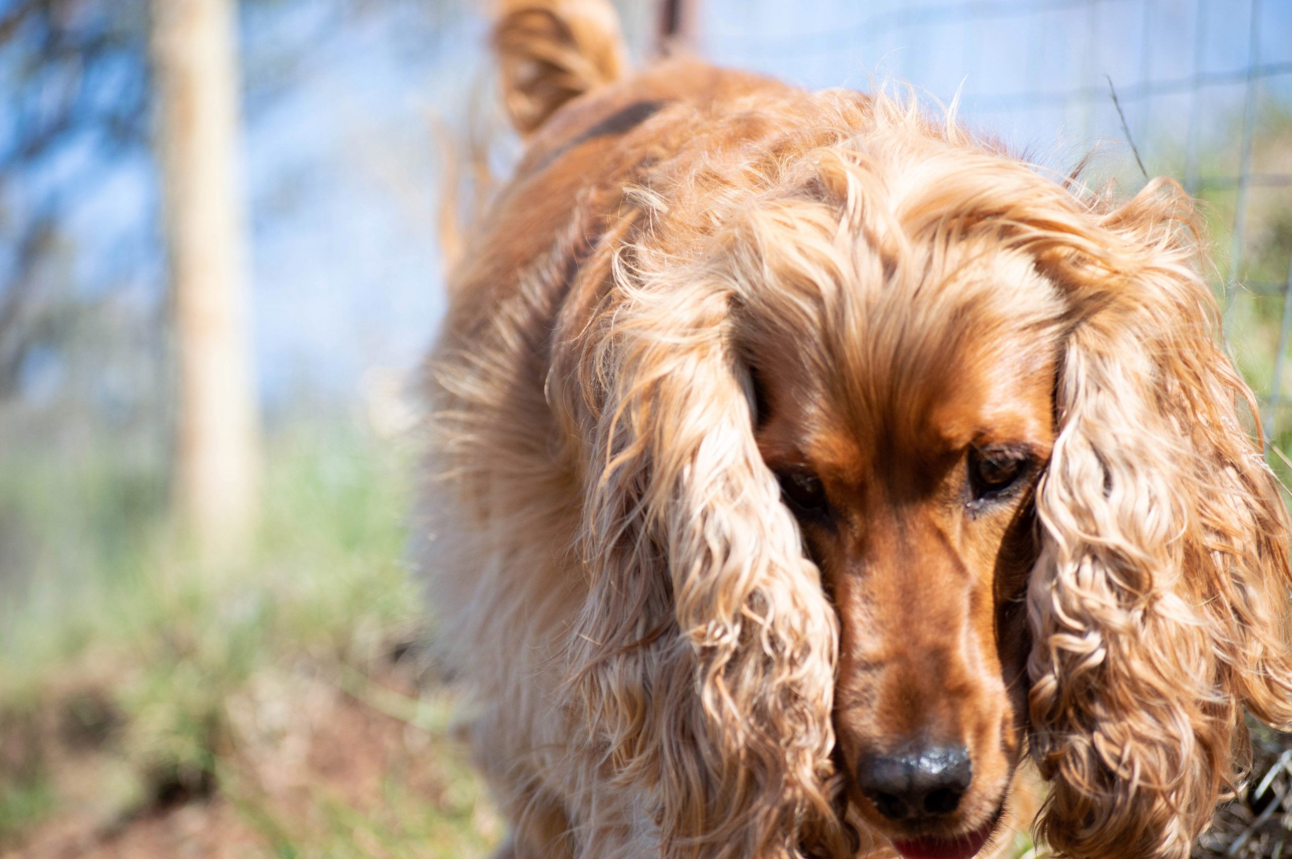 5 Tips for Preventing Ear Infections in Dogs - heydjangles.com - Golden Cocker Spaniel