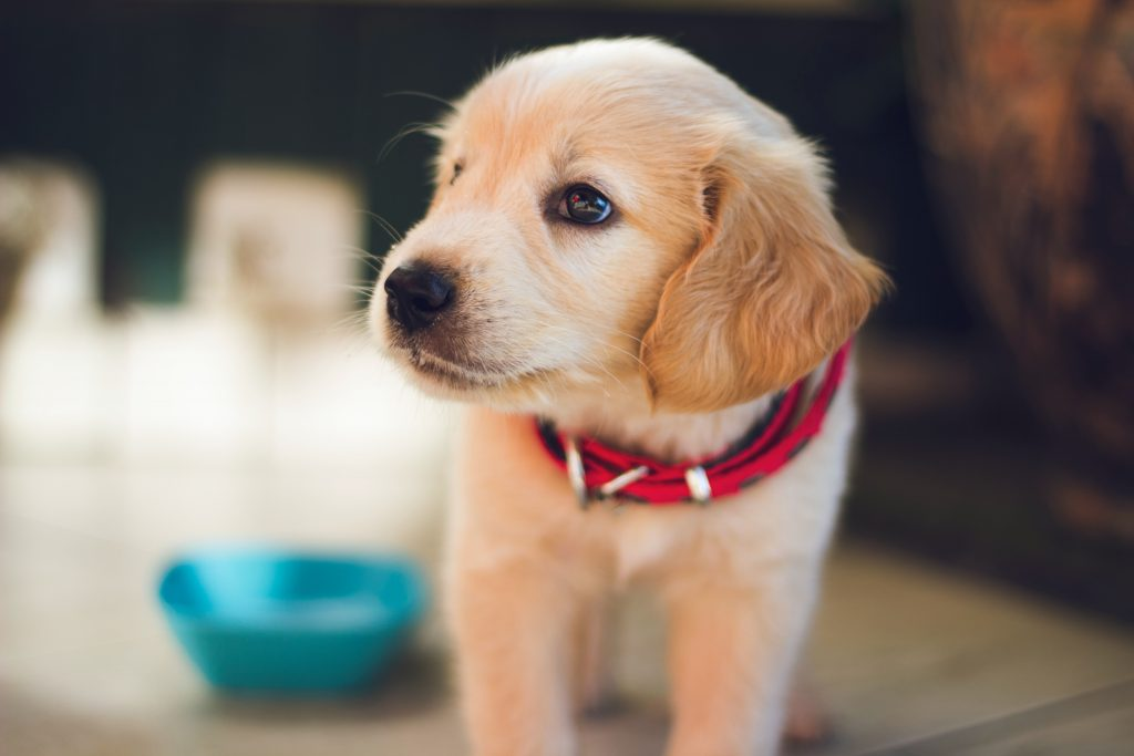 4 SUPER SIMPLE TIPS FOR A HAPPY AND HEALTHY DOG - Cute Golden Retriever puppy.
