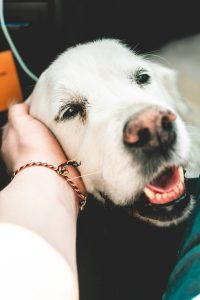 4 SUPER SIMPLE TIPS FOR A HAPPY AND HEALTHY DOG - Happy old Golden Retriever dog.