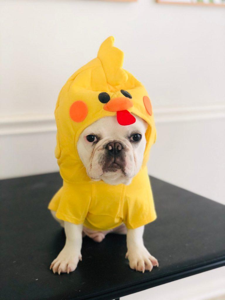 Cute French Bulldog Chicken Halloween Costume