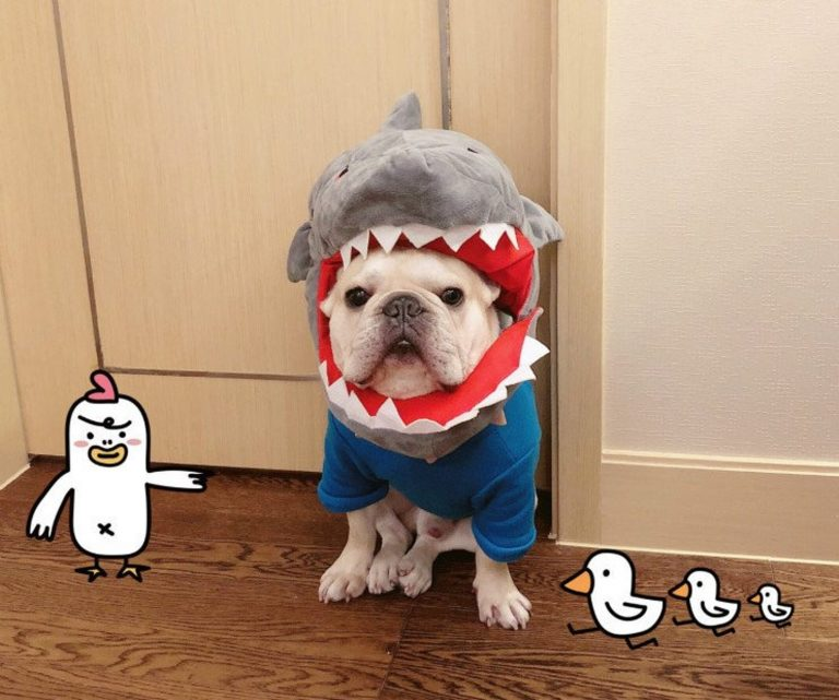 Doggy Shark Costume via FitFrenchie on Etsy. Halloween Costumes for French Bulldogs.