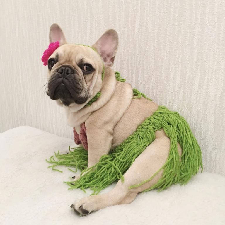 Pet Bikini Grass Skirt Hawaiin dog costume via DishyKooker on Amazon. Halloween costumes for French Bulldogs.