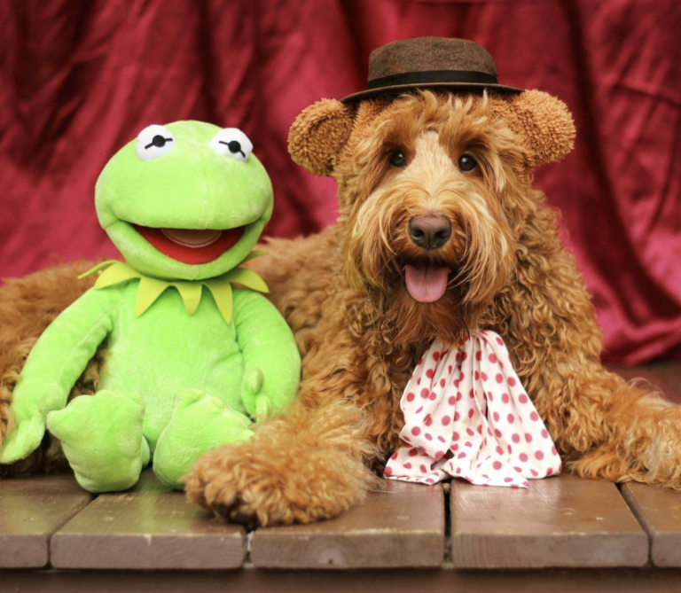 Halloween Costumes for Goldendoodles - IMAGE via @oliverthegoldendoodle on Instagram, Fozzie Bear Goldendoodle dog Halloween costume
