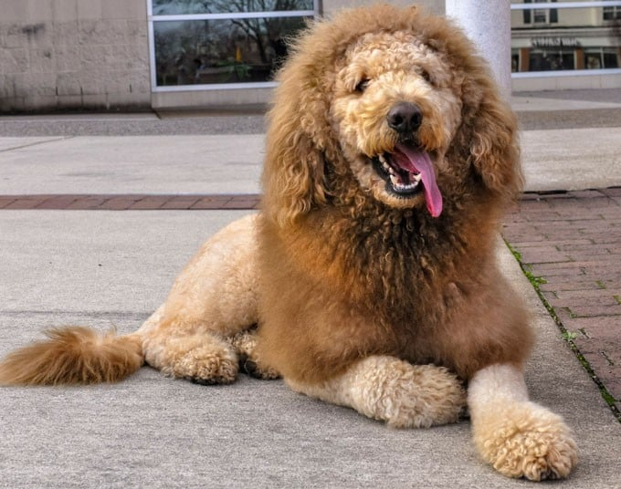 Halloween Costumes for Goldendoodles - IMAGE via The Telegraph featuring Labradoodle, 'Charles the Monarch' as lion dog