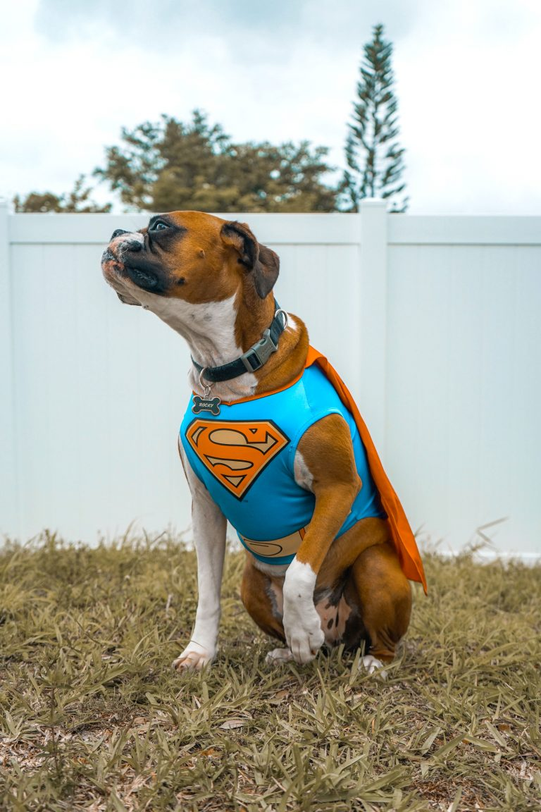 20 Cute Halloween Costumes for Extra Large Dogs (up to 3XL!) - Boxer dog pictured in a Superman costume, large breed dogs.