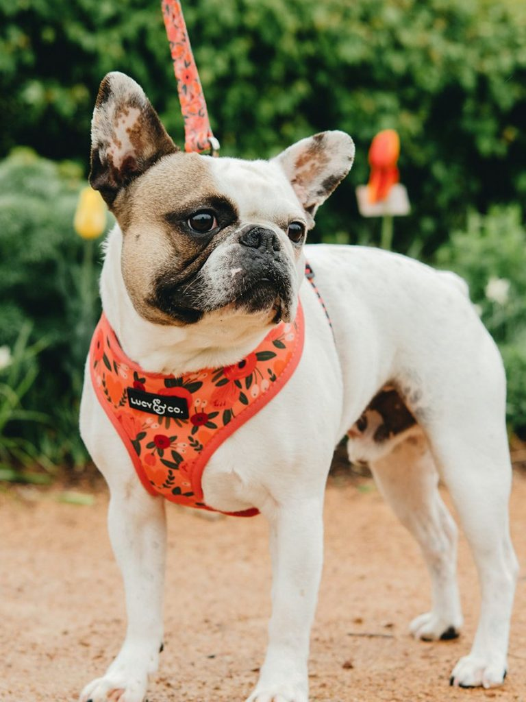 Lucy & Co. Reversible Dog Harness (via Verishop)
