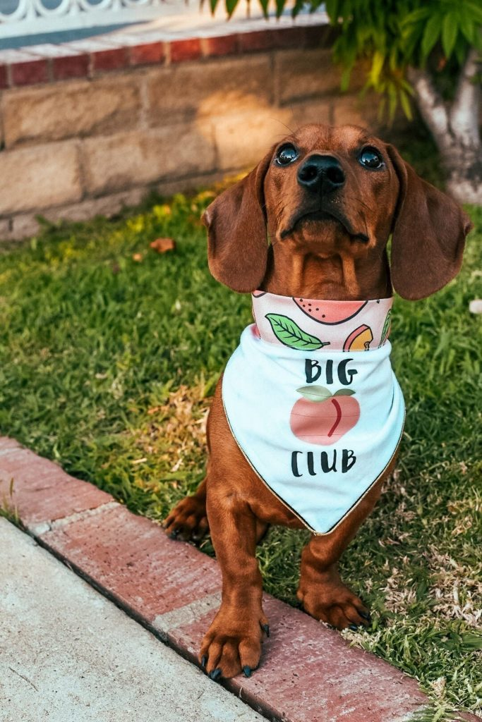 ROUND-UP: Peach Dog Accessories feat. Bandana from J and J Pet Boutique (Etsy)