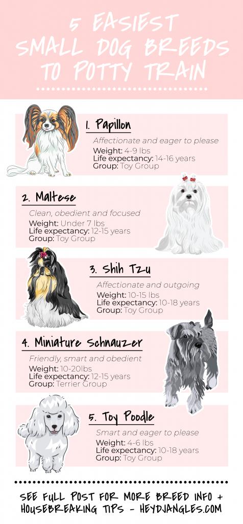 5 Easiest Small Dogs to Housebreak - Hey, Djangles. Easiest small dog breeds to potty-train, easy to train small dog breeds, housebreaking tips, Papillon, Maltese, Shih Tzu, Miniature Schnauzer, Toy Poodle.