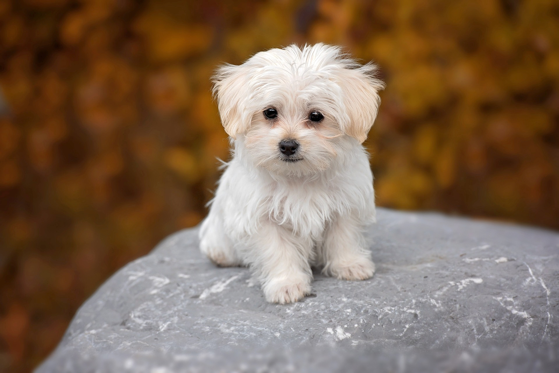 Maltese puppy dog, easiest small dogs to housebreak, photo by Pezibear.