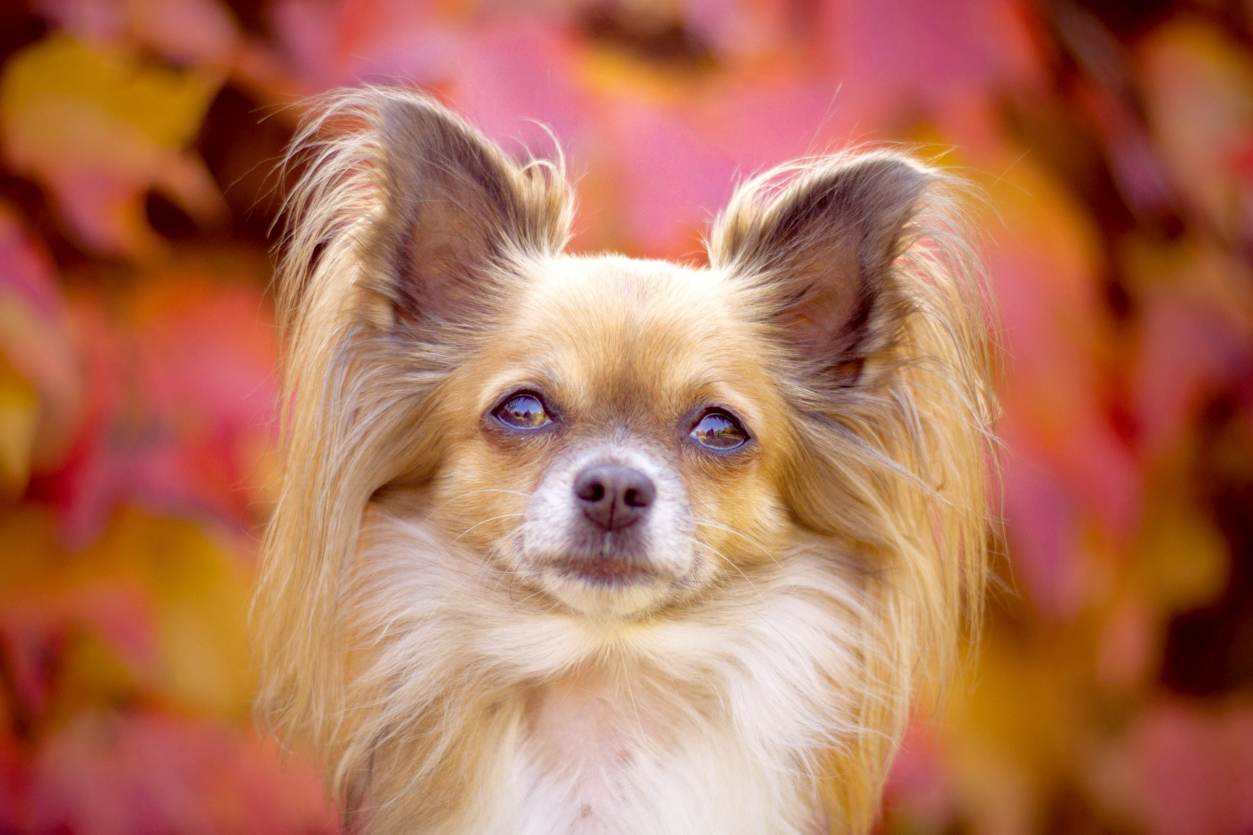 Papillon dog, easiest small dogs to housebreak, photo by Anna Dudkova.