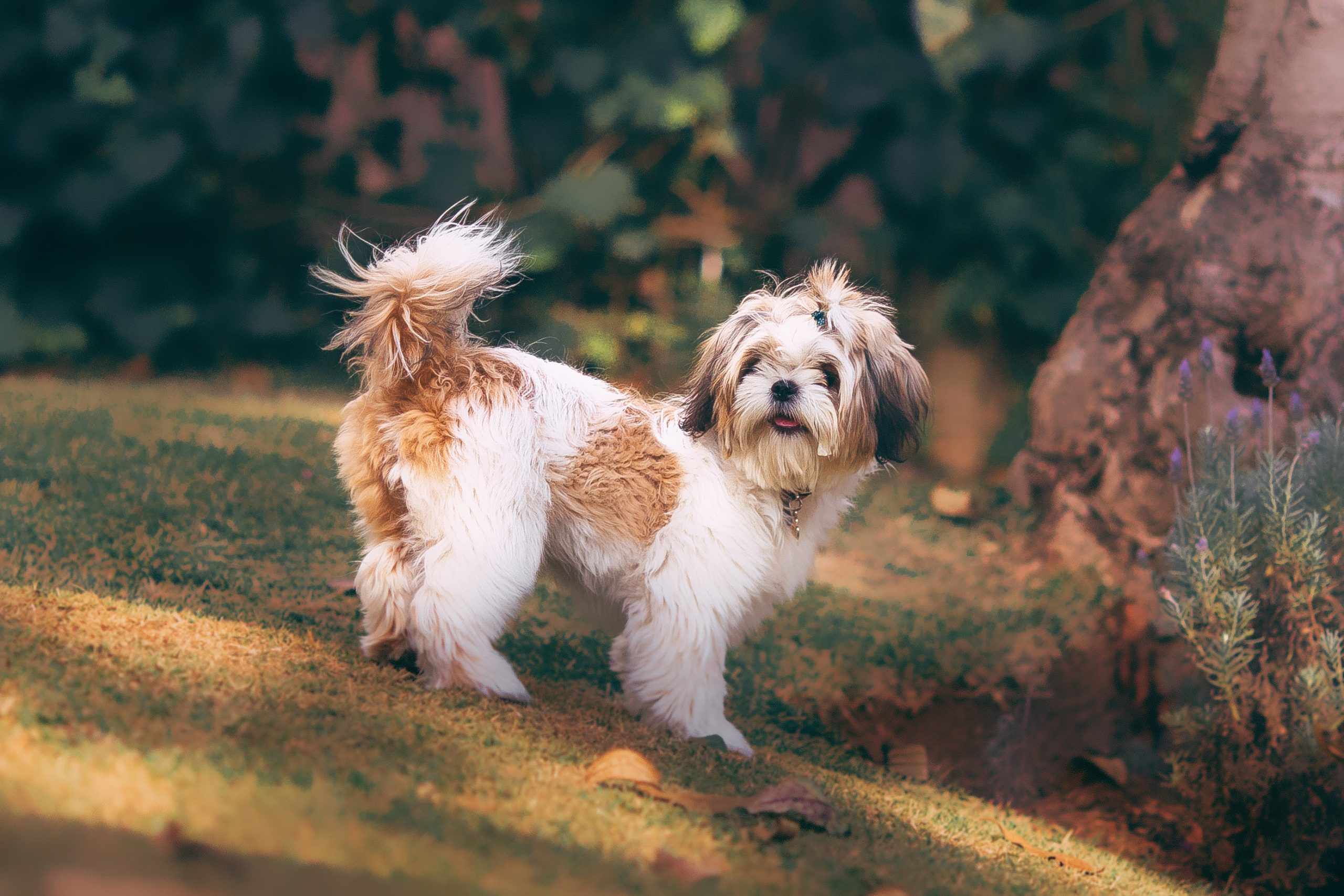 Shih Tzu dog, easiest small dogs to housebreak, photo by Helena Lopes.