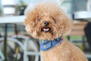 Toy Poodle dog, easiest small dogs to housebreak, photo by Alison Pang.