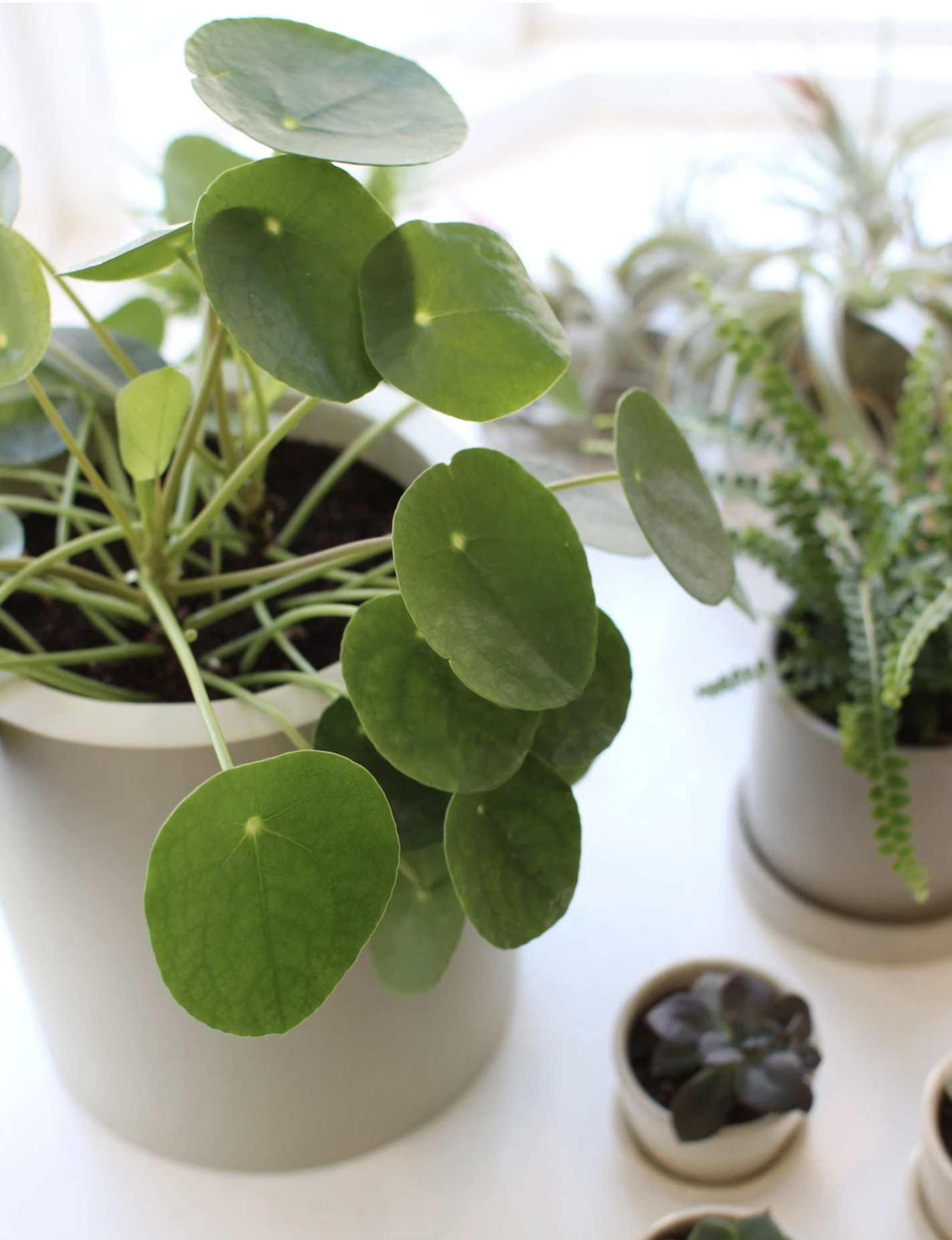 20 Trendy Dog Safe House Plants for 2021 feat. Chinese Money Plant - Image via The Sill