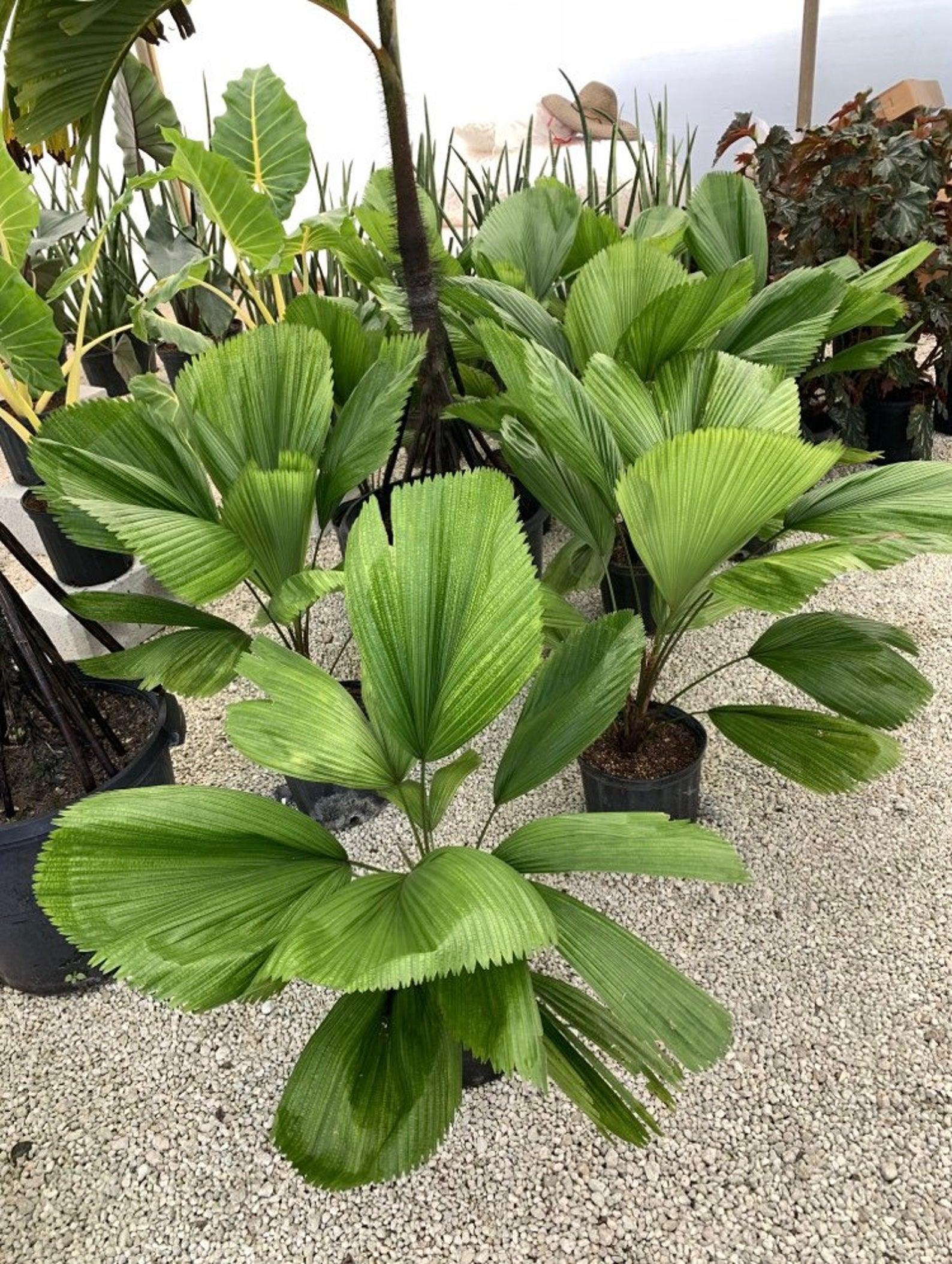 Fan Palm - Image via Bijan Tropicals (Etsy)