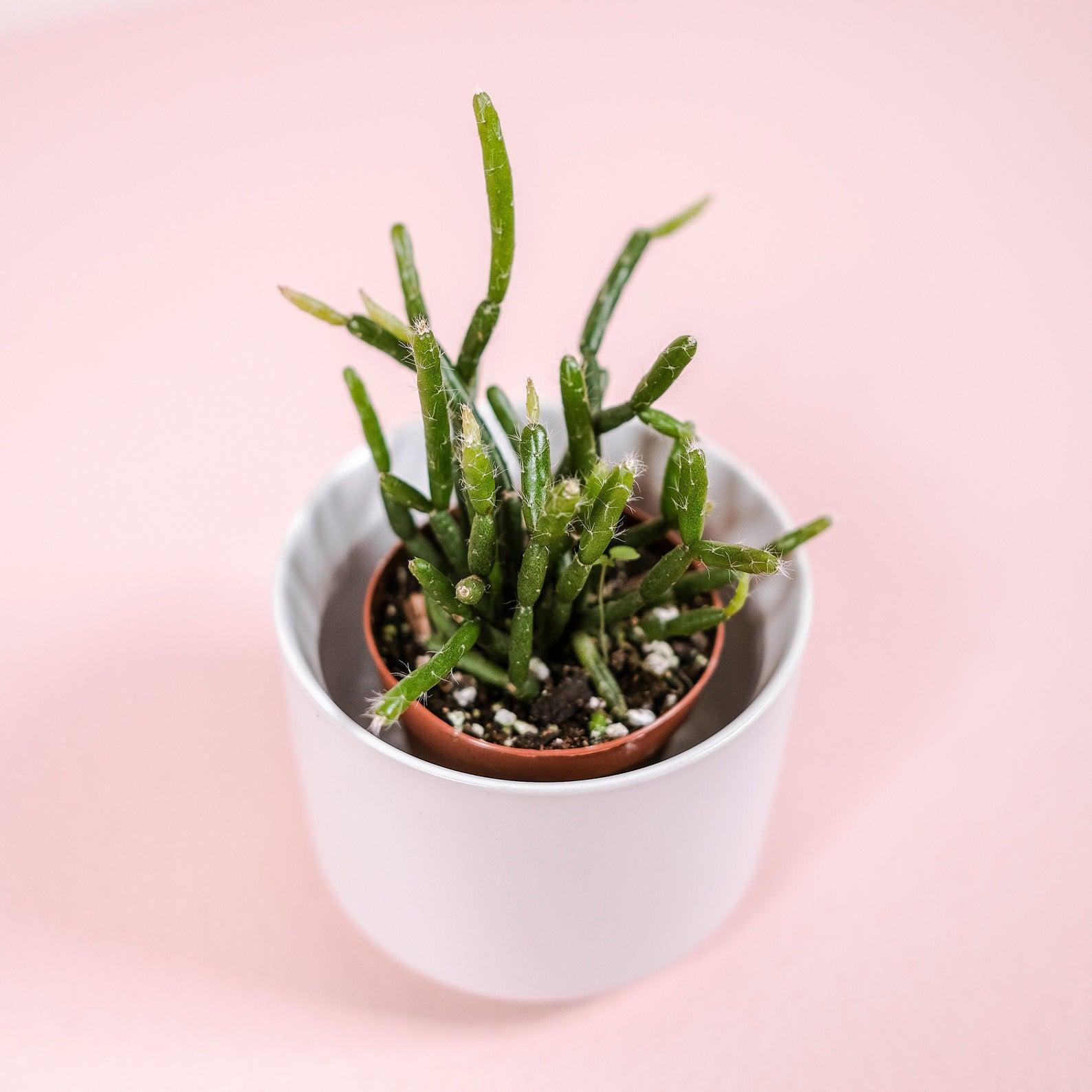 Mitletoe Cactus - Image via Fern Plant Shop (Etsy)
