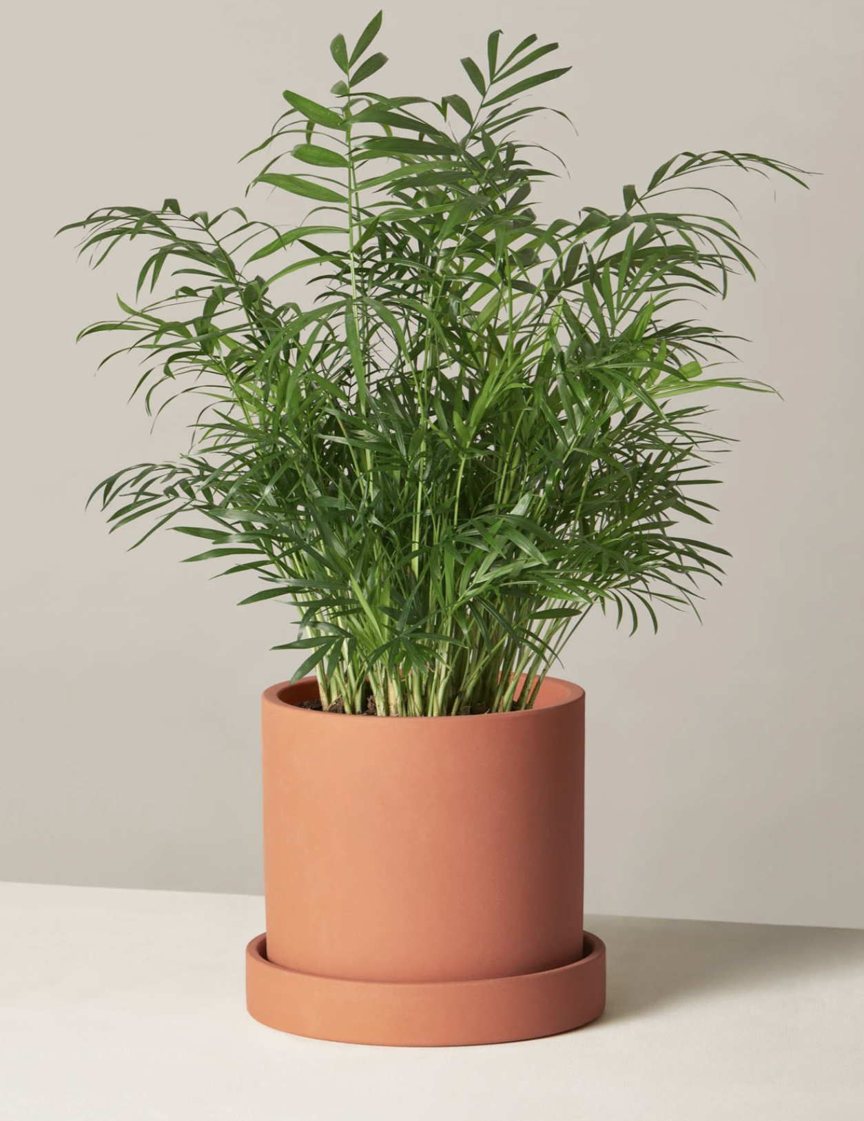 Parlor Palm - Image via The Sill