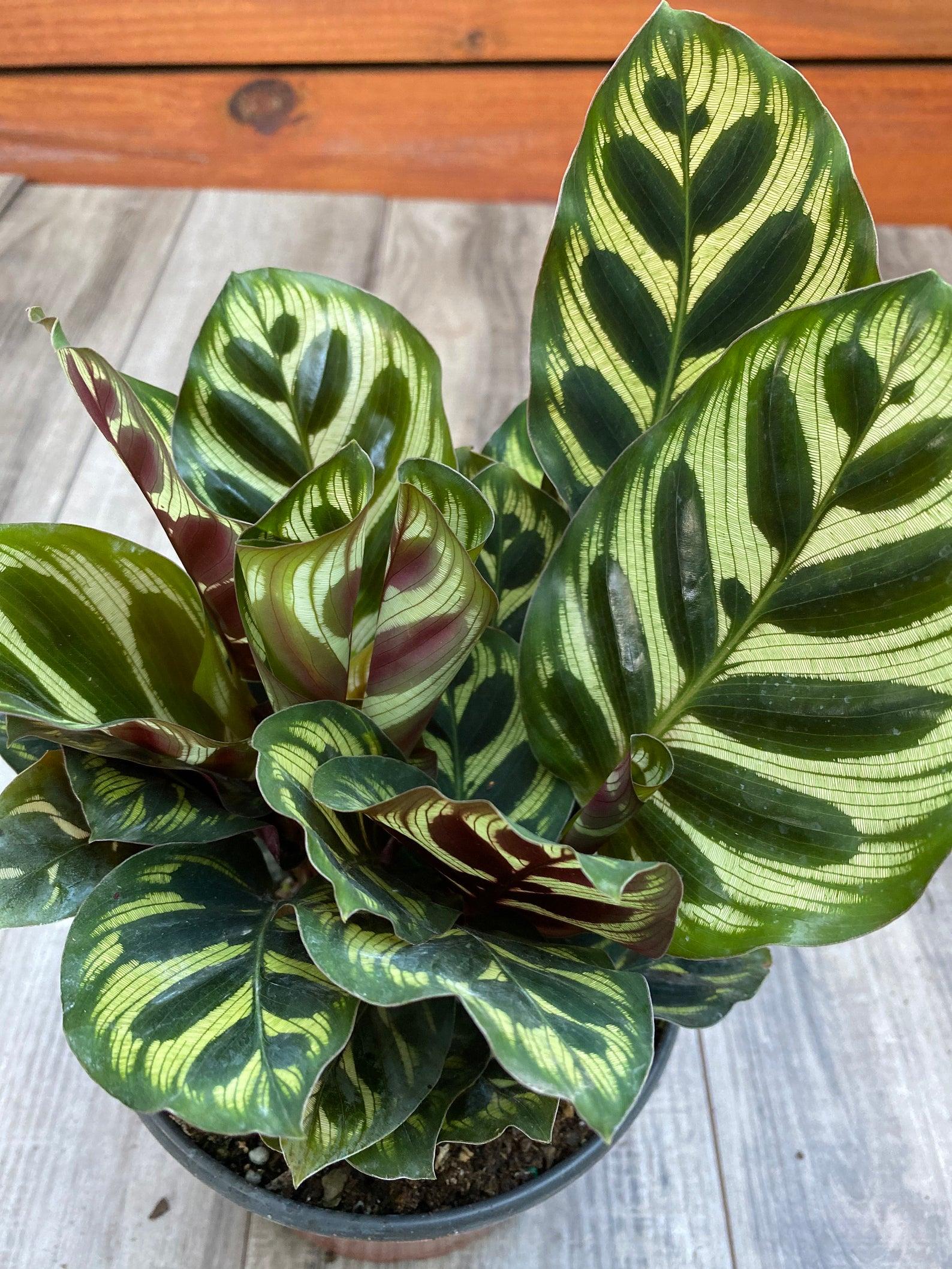 20 Trendy Dog Safe House Plants for 2021 feat. Prayer Plant - Image via Tropical Plants FL (Etsy)