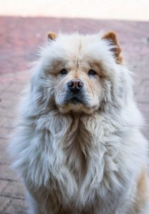 16 Dogs That Look Like Lions - Chow Chow