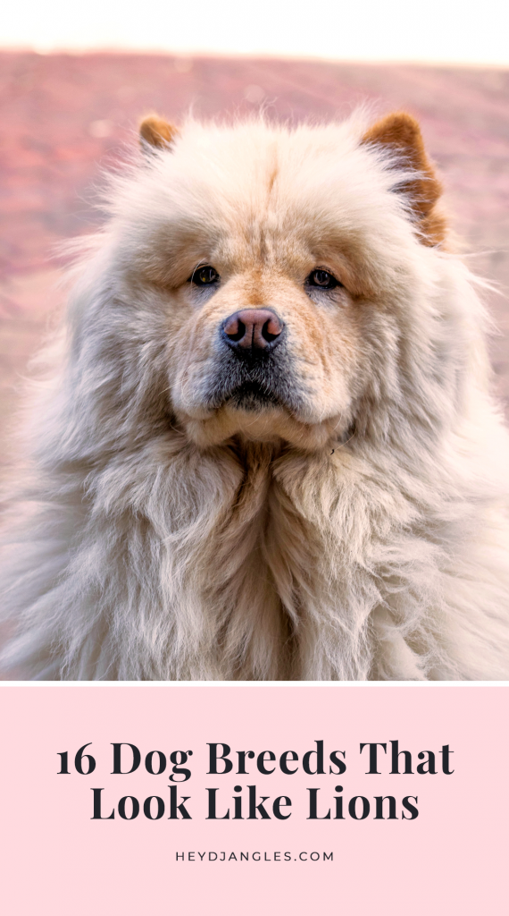 16 Dogs That Look Like Lions