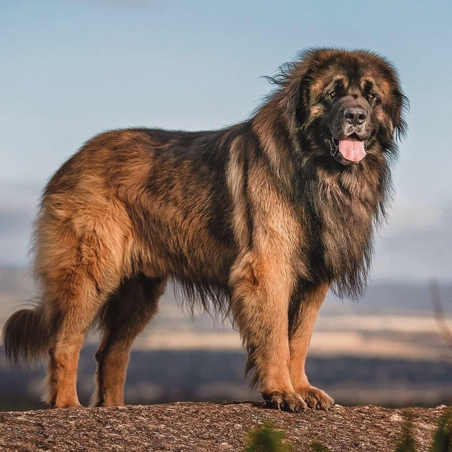 16 Dogs That Look Like Lions - Leonberger, Photo via Glamourford