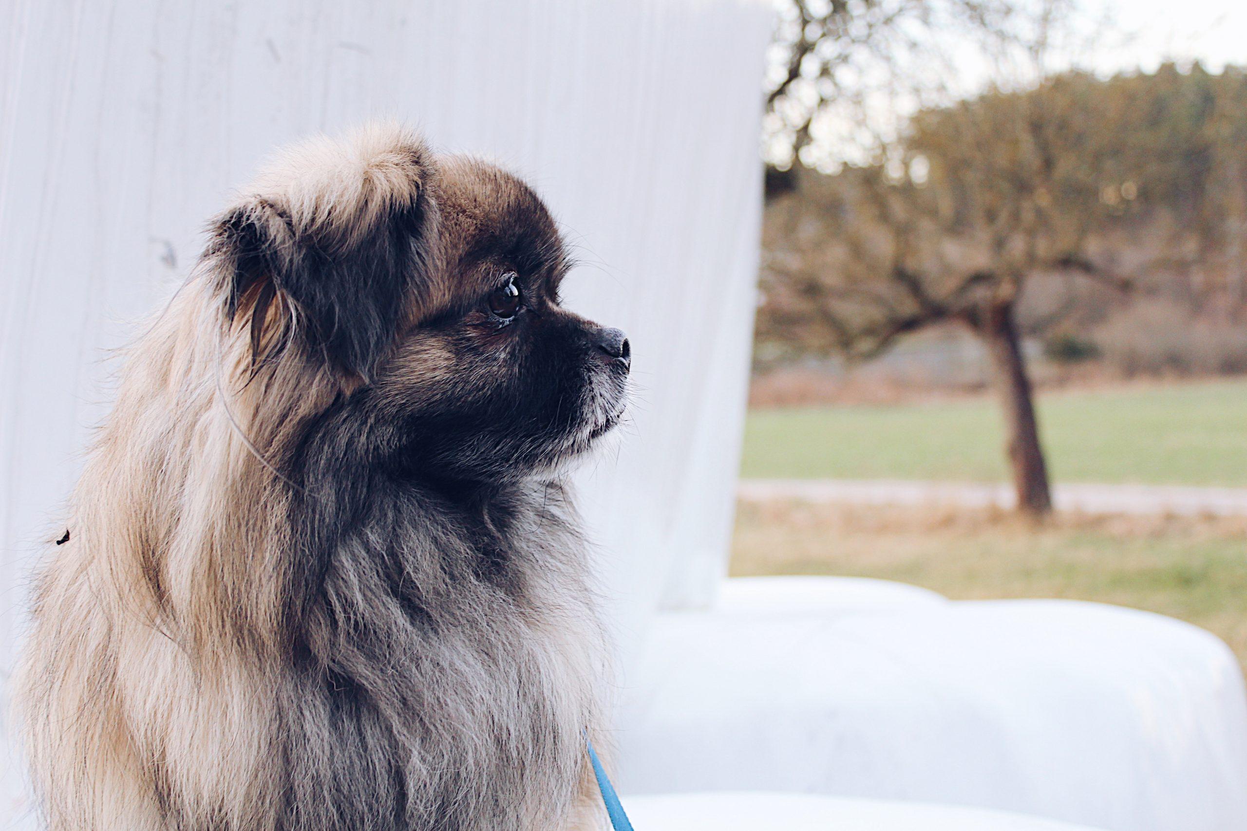16 Dogs That Look Like Lions - Pekingese