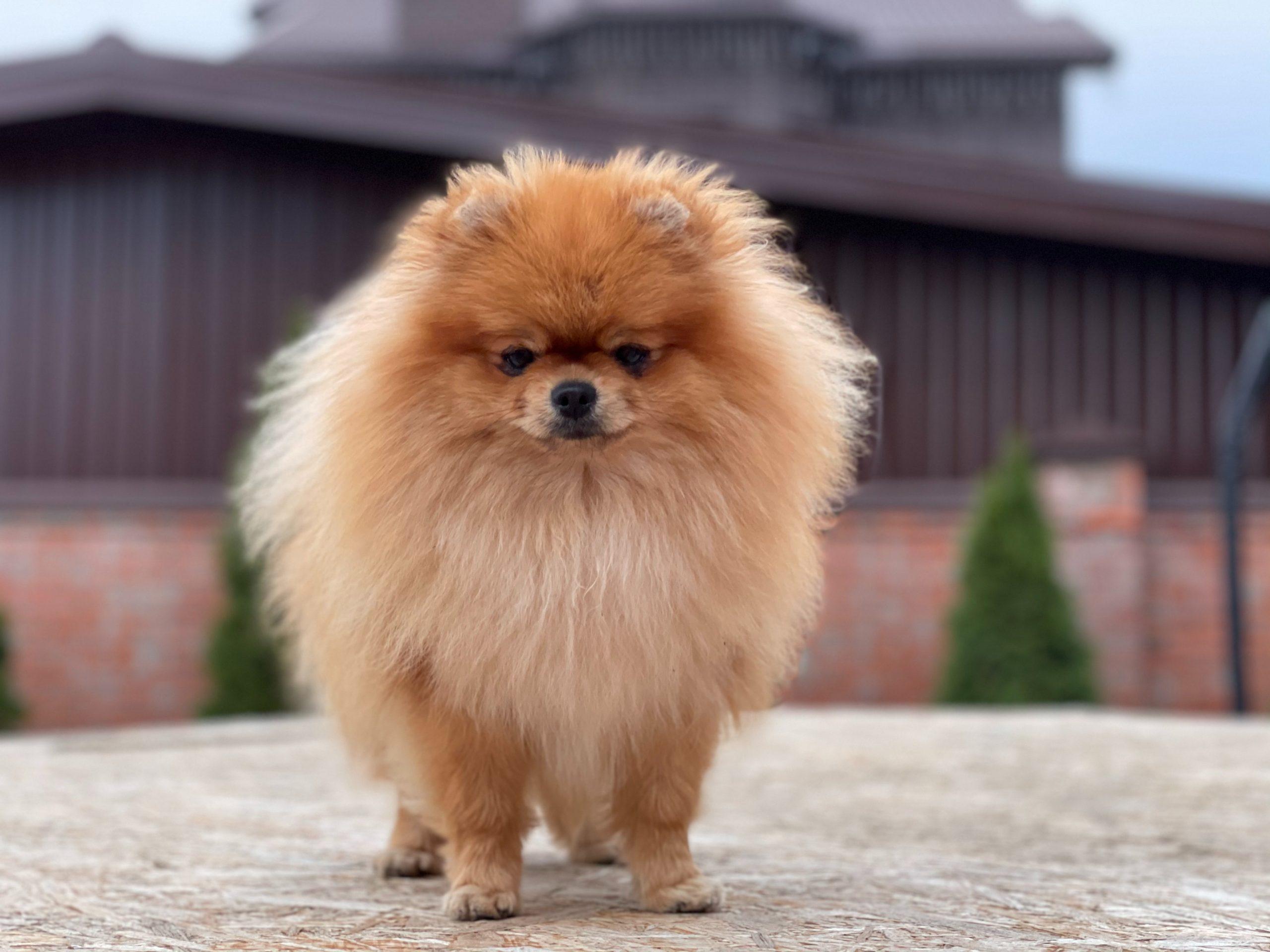 16 Dogs That Look Like Lions - Pomeranian
