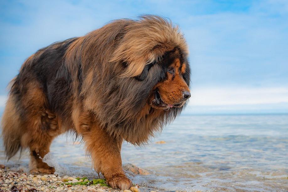 16 Dogs That Look Like Lions - Tibetan Mastiff, Photo via Great Tibet Tour