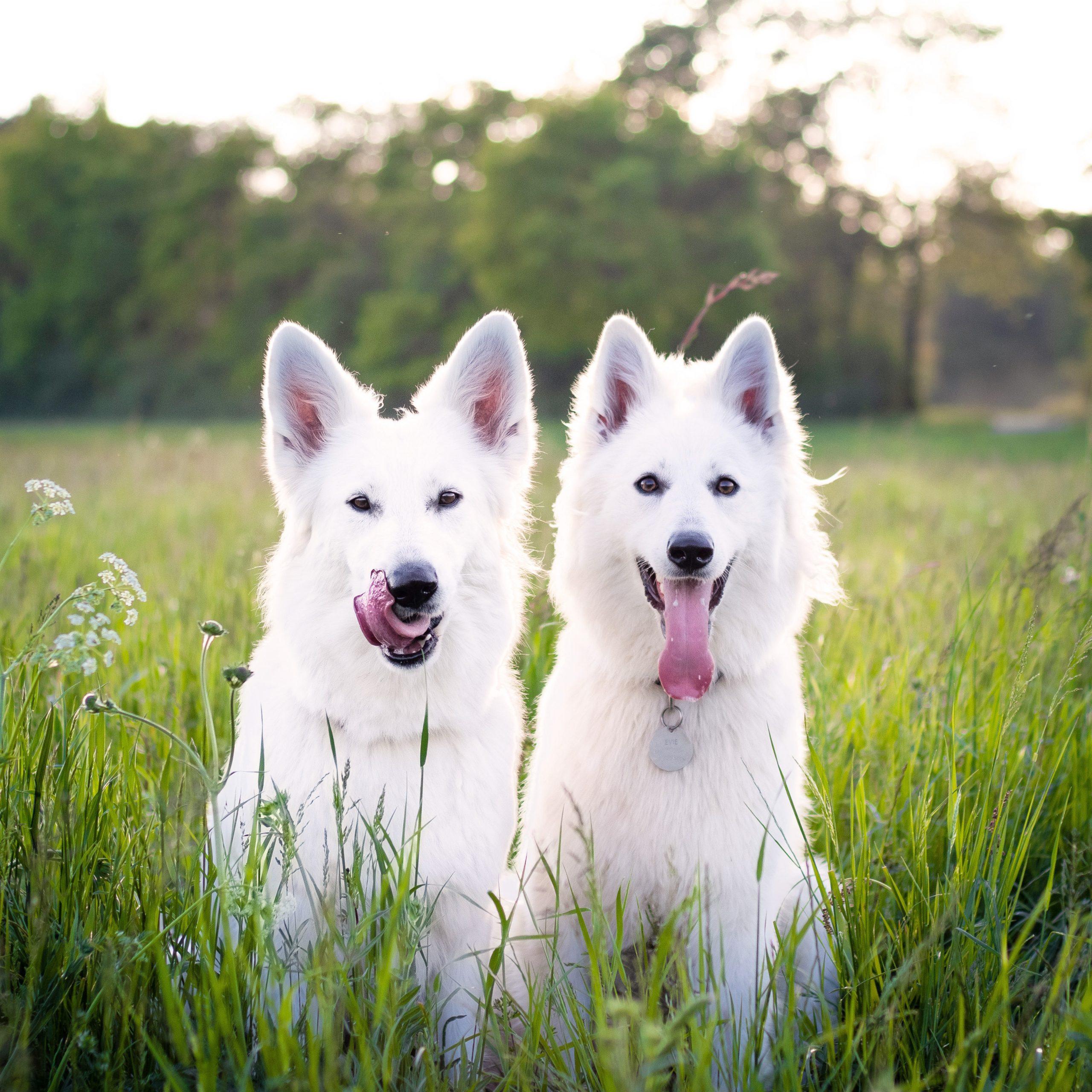 120+ White Fluffy Dog Names - dog name ideas, white dog breeds, puppy names, white dog names, fluffy dog names