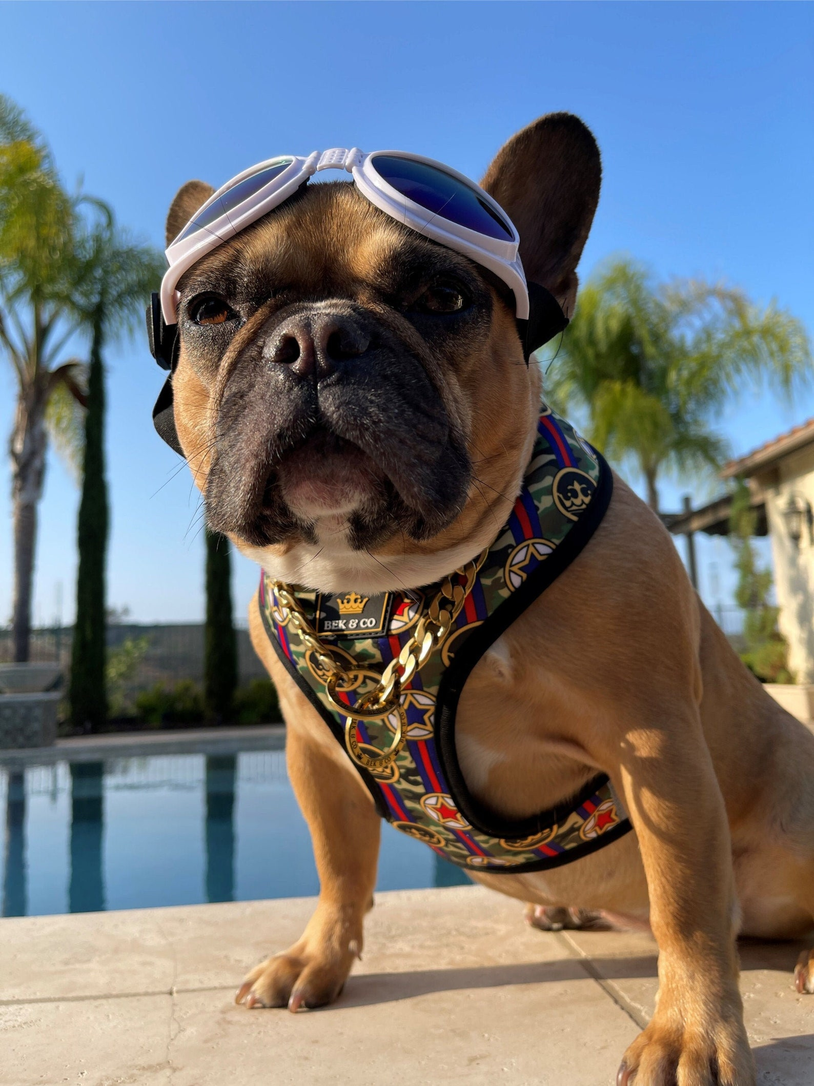Stylish French Bulldog wearing Bek & Co harness and accessories. Image via Bek & Co